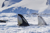 Two Orca Whales Surface in Pack Ice Hunting a Distant Leopard Seal Papier Photo par Ralph Lee Hopkins