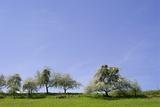 Fruit Trees with Clusters of Mistletoe  in Bloom in Spring
