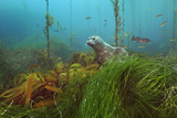 A harbor seal peers from a kelp forest on Cortes Bank. Papier Photo par Brian Skerry