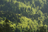 Lush Mixed Forest with New Spring Growth
