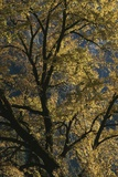 Autumnal Leaves Decorate a Tree in Yosemite