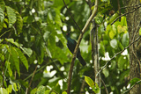 A Jobi Manucode Bird of Paradise Forages for Figs in a Climbing Species of Ficus Tree