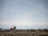 Large Bull Elk Bugling During the Rut in Grand Teton National Park Papier Photo par Andrew R. Slaton