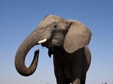 Close Up Portrait of an African Elephant on a Clear Blue Sky.  Hwange National Park, Zimbabwe Papier Photo par Karine Aigner
