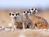 Three Curious Adult Meerkats at the Edge of their Family Den Pose for the Camera.  Botswana. Papier Photo par Karine Aigner