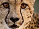 Close Up Portrait of a Cheetah