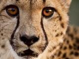 Close Up Portrait of a Cheetah. Papier Photo par Karine Aigner
