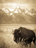 Bison in Grand Teton National Park Wyoming