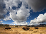 American Bison in Yellowstone National Park, Wyoming. Papier Photo