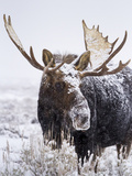 Bull Moose Covered in Snow