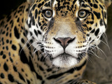 A Jaguar Stares Intensely into the Camera