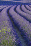 Curvy Lavender Field Near Roussillon in the Luberon  Provence  France
