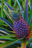 Pineapple, Melanesia, Fiji Papier Photo par Douglas Peebles