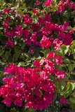 Bougainvillea Flowers  Grand Cayman  Cayman Islands  British West Indies