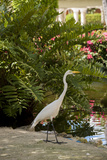 White Egret Tropical Bird  Bavaro  Higuey  Punta Cana  Dominican Republic