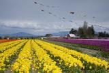 Tulips in Bloom  Annual Skagit Valley Tulip Festival  Mt Vernon  Washington  USA