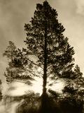 View of Sunbeam Through Trees  Yellowstone National Park  Wyoming  USA