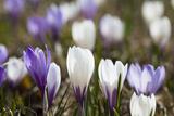 Spring Crocus Flowers  Eastern Alps  South Tyrol  Italy