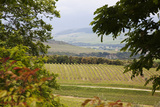 Vineyard and Olive Grove on Rolling Hillside  Tuscany  Italy
