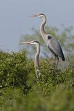 Great Blue Heron (Ardea Herodias) Bird  Pair in Habitat  Texas  USA