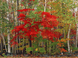 Red Maple and White Birch  White Mountains National Forest  New Hampshire  USA