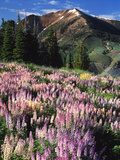 Lupines and Alpine Fir  Snowcapped Mountain  Jarbidge  Jarbidge Wilderness  Nevada  USA