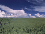 Green Wheat Field  Clouds  Agriculture Fruitland  Idaho  USA