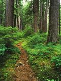 Path Through Old-Growth Rainforest  Olympic National Park  Washington  USA