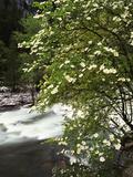 Pacific Dogwood Tree  Merced River  Yosemite National Park  California  USA