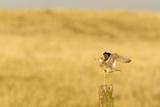 Upland Sandpiper Bird  Bowman  North Dakota  USA