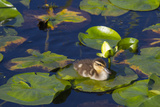 Mallard Duck  Duckling Wildlife  Juanita Bay Wetland  Washington  USA