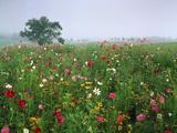 Field of Cosmos Flower  Union  Kentucky  USA