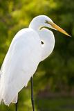 Great Egret Bird  Everglades  Florida  USA