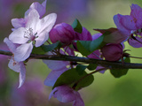 Close-Up of Azalea Flowers and Buds  Winterthur Gardens  Delaware  USA