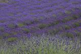 Farm Fields in Bloom at Lavender Festival  Sequim  Washington  USA