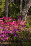 Azalea Flowers  Edgewater Landings  Florida  USA