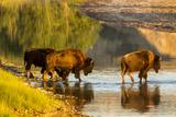 Bison Wildlife Crossing Little Missouri River  Theodore Roosevelt National Park  North Dakota  USA