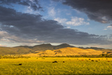 Beef Cattle Graze in Farm Pasture  Sunrise  Tobacco Root Mountains  Montana  USA