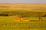 Whitetail Deer Wildlife in Wheat Field Near Glasgow  Montana  USA