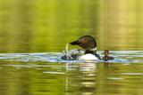 Female Common Loon Bird with Newborn Chick on Beaver Lake  Whitefish  Montana  USA