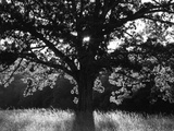 White Oak Tree  Great Smoky Mountains National Park  Cades Cove  Tennessee  USA