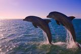 Dolphins Leaping from Sea  Roatan Island  Honduras