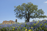 Texas Bluebonnet Flowers in Bloom  Central Texas  USA