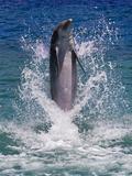 Dolphin Standing Above Water  Roatan Island  Honduras