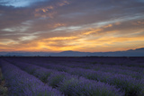 Lavender Field Just before Dawn Near Valensole  Provence  France