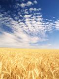 View of Wheat Field  Palouse  Washington State  USA