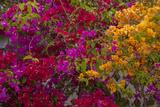 Bougainvillea Flowers  Princess Cays  Eleuthera  Bahamas