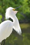 Snowy Egret Bird  Everglades  Florida  USA