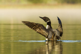 Male Common Loon Bird Drying His Wings on Beaver Lake Near Whitefish  Montana  USA