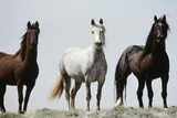 Wild Stallion Horses  Alkali Creek  Cyclone Rim  Continental Divide  Wyoming  USA